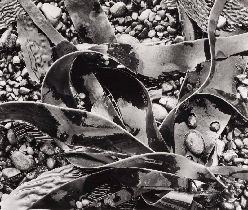 Black and white photograph of wet kelp over rocks and pebbles